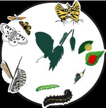 Illustration du cycle de vie des papillons