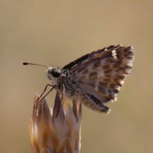 Photo de Carcharodus baeticus