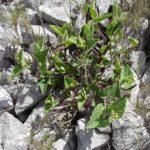 Photo de Aristolochia pistolochia