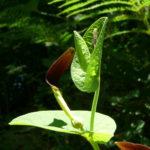 Photo de Aristolochia rotunda