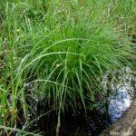 Photo de Carex montana