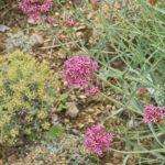 Photo de Centranthus angustifolius
