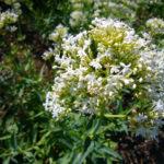 Photo de Centranthus ruber