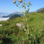 Photo de Cirsium eriophorum