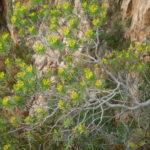 Photo de Euphorbia dendroides