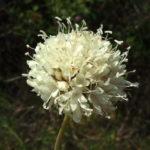 Photo de Cephalaria leucantha