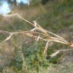 Photo de Hyparrhenia hirta