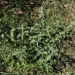 Photo de Marrubium vulgare