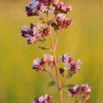 Photo de Origanum vulgare