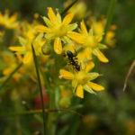 Photo de Saxifraga aizoides