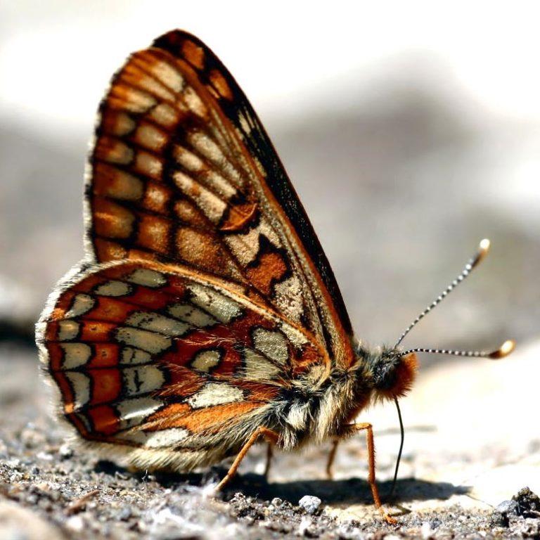 photo de Euphydryas intermedia