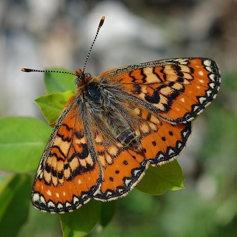 photo de Euphydryas desfontainii