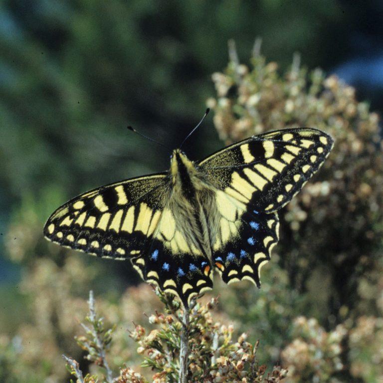 photo de Papilio hospiton