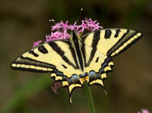 Photo de Papilio alexanor