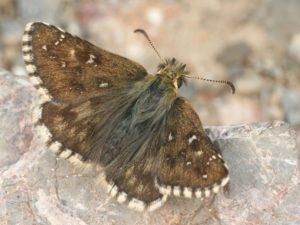 Photo de Pyrgus warrenensis